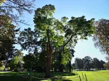 Un règlement pour la protection des arbres à Bordeaux